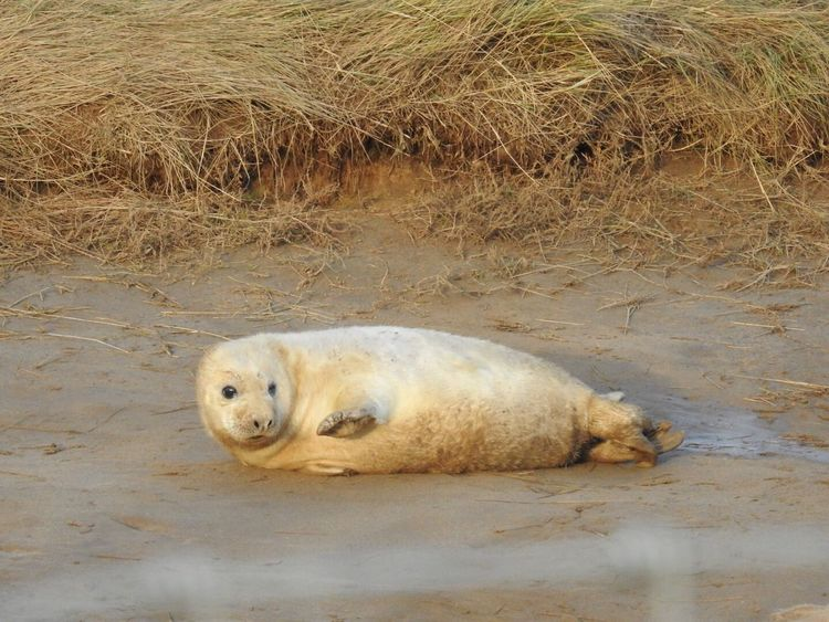Seal Seal Pup One Animal Mammal Looking At Camera Animals In The Wild Nature No People Animal Wildlife Outdoors Close-up North Lincolnshire Coast Lying Down Beauty In Nature Donna Nook Cute