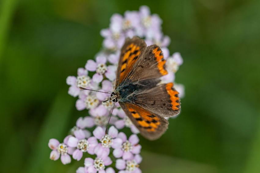 Kleiner Feuerfalter Bläulinge Butterfly Insects  Kleiner Feuerfalter Lepidoptera Lycaena Phlaeas Lycaenidae Nature