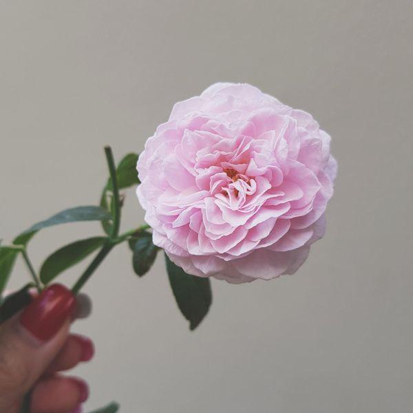 True beauty.. Gardeningtime English Roses Beauty Happy Chill At Home Flower Petal Plant Flower Head