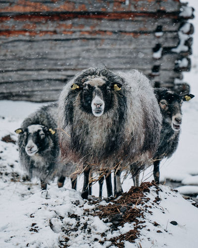 Portrait of sheep on snow covered field
