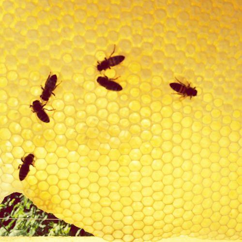 Bienen Bei Der Arbeit Bienen  Honig Imkerei