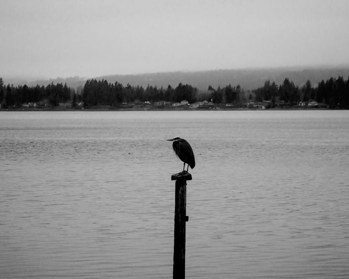 Great blue heron. Black & White Blackandwhite Photography Black And White Collection  Blackandwhite Blackandwhitephotography Pnwnaturescapes PNW At Its Finest Pnwlife PNWonderland Bremertonwashington Bremerton Landscape #Nature #photography Pnw Paradise Pnwcollective PNW Art Naturelovers Nature_collection PNW! Pnwnature Enjoying Nature