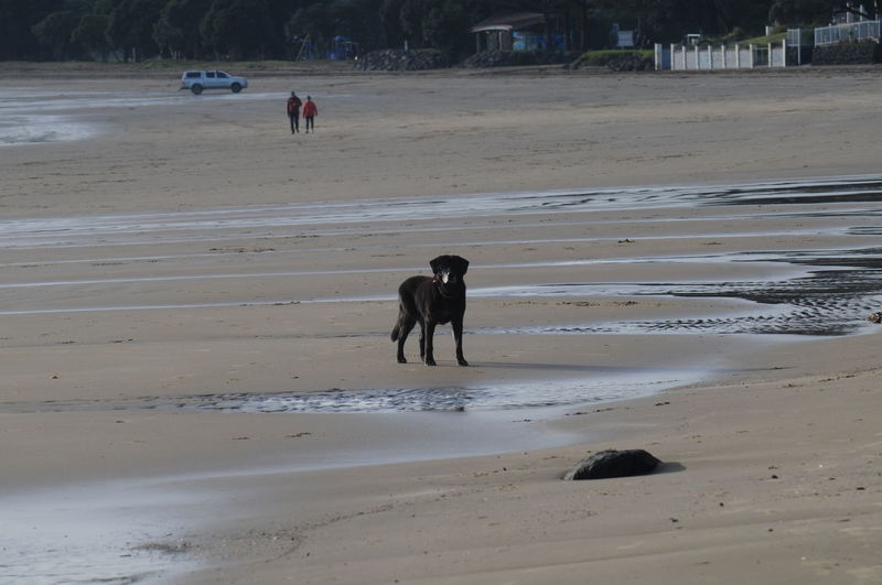 Looking Beach Morning Animal Animal Themes Beach Black Labrador Black Dog Canine Day Dog Domestic Domestic Animals Incidental People Land Mammal Nature One Animal Pets Sand Sea Vertebrate Walking Water