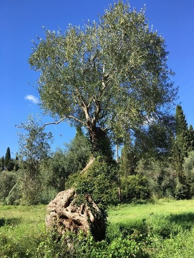 Scenics Tranquil Scene Green Color Tree Trunk Nature Beauty In Nature Outdoors Olive Tree
