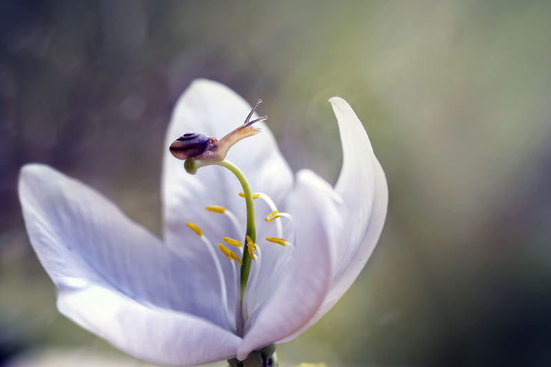 Close-up of white flower blooming outdoors and a snail on top