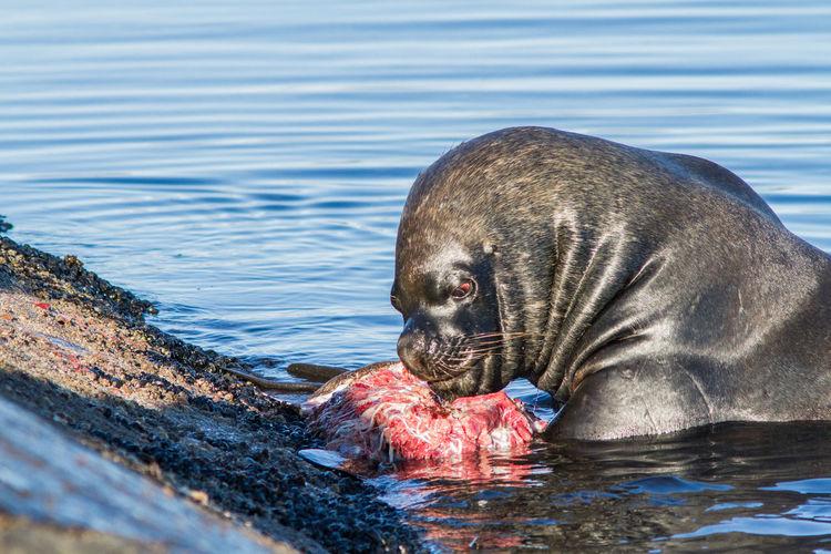 Seal with prey at shore
