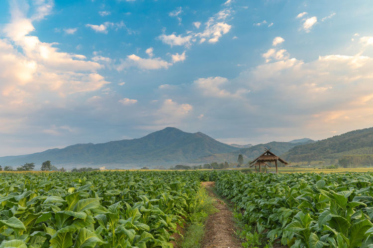 Tobacco field and hut with beautiful mountain hill background, Agriculture in countryside Addiction Agricultural Agriculture Background Beautiful Blue Brown Cigarette  Clouds Countryside Dirt Farm Farming Field Flower Forest Fresh Garden Green Growing Harvest Hut Industry Landscape Leaf Mountain Nature Nicotine Organic Outdoor Outdoors Plant Plantation Prospect Row Rural Scenery Science Sky Smoke Spring Summer Sun Thailand Tobacco Unhealthy View Vista Young