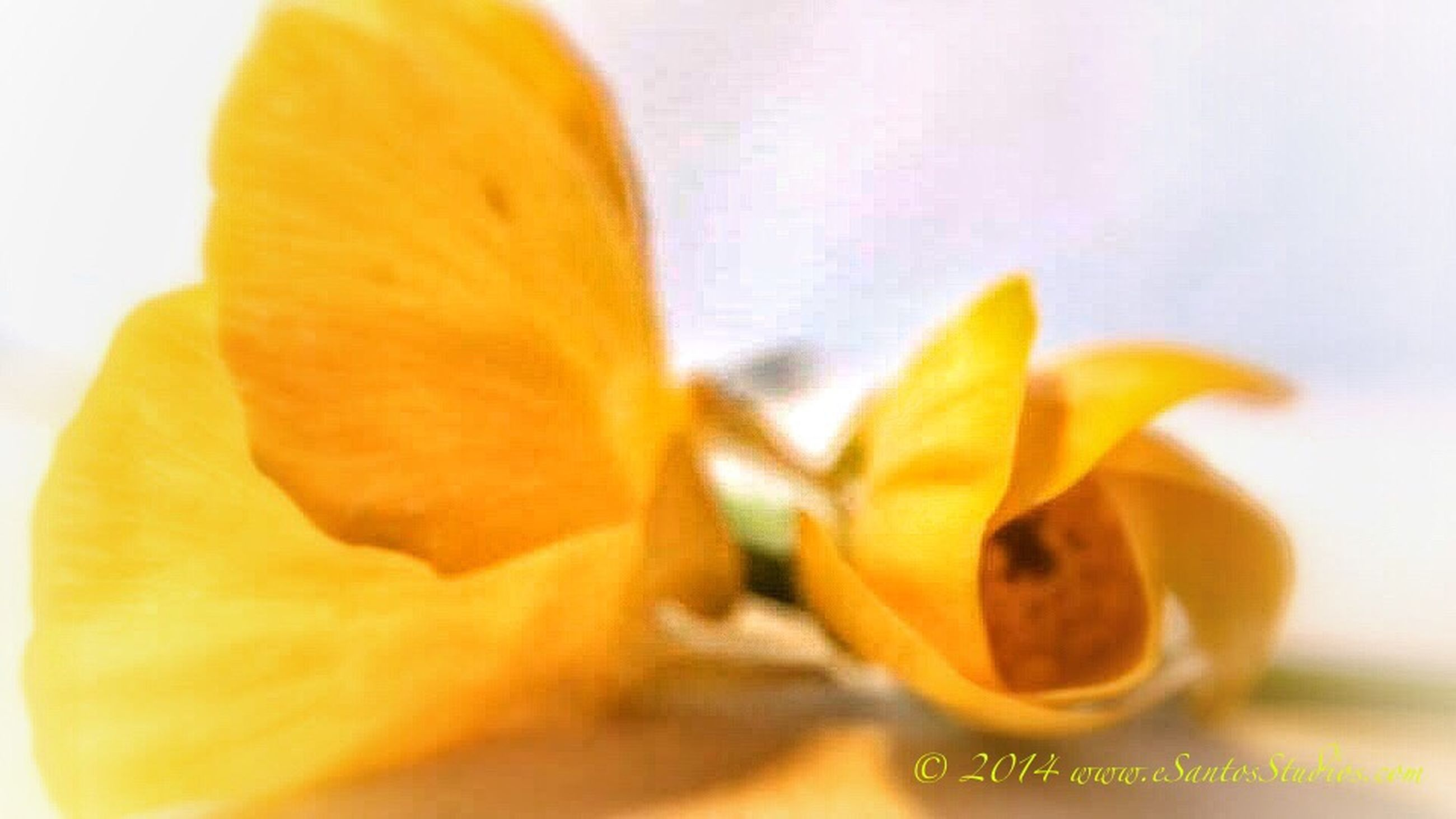 freshness, flower, petal, yellow, close-up, flower head, fragility, studio shot, white background, single flower, selective focus, beauty in nature, focus on foreground, indoors, orange color, growth, nature, no people, plant, pollen