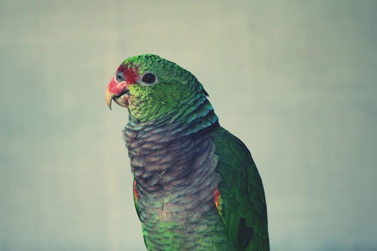 Green Color Bird Close-up Parrot Nature Pink Color Perrot Red
