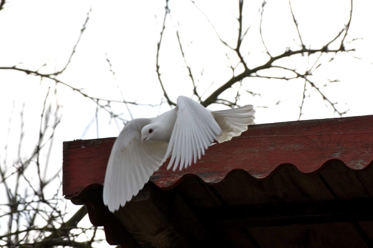 low angle view, bird, one animal, animal themes, white color, animals in the wild, spread wings, animal wildlife, day, outdoors, no people, branch, nature, perching, building exterior, architecture, clear sky, beauty in nature, cockatoo, sky, close-up