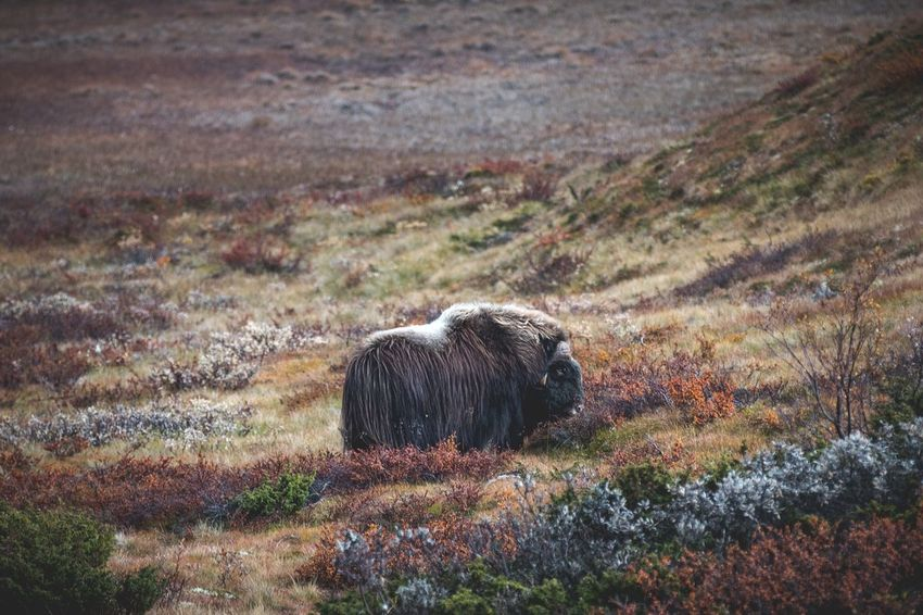 The lonely musk ox bull looking really wild :) One Animal Grass Nature Autumn Beauty In Nature Animal Themes Landscape Animals In The Wild Norway Dovrefjell Outdoors Exploring Hiking Experience Shades Of Winter