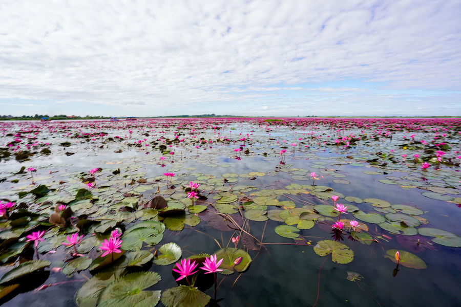 50+ Lotus Water Lily Pictures HD | Download Authentic Images