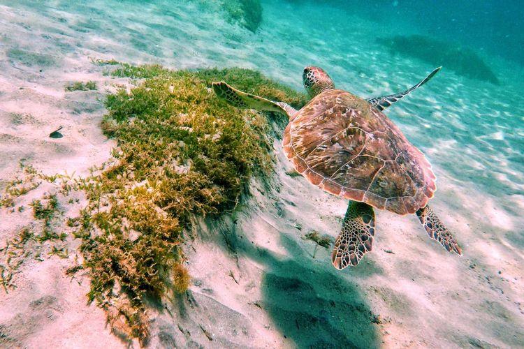 Madinina turtle