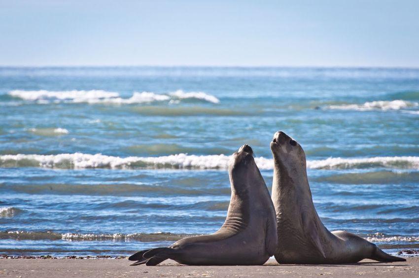 Wildlife Wildlife & Nature Wildlife Photography EyeEm Best Shots EyeEm EyeEm Nature Lover Elephant Seals Argentina Península De Valdés