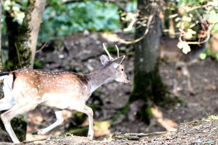 Bock auf dem Sprung Rehbock Animals In The Wild Animal Photography EyeEm Nature Lover German Shepherd Stag Full Length Tree Forest Standing Antler Side View Animal Themes Close-up