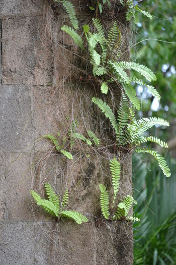 Aged Wall Ferns