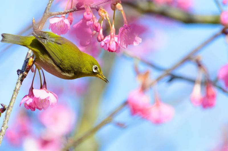 Bird Cherryblossom 🌸 Cherry Blossoms Japanese White-eye Tree Animal Wildlife One Animal Beauty In Nature Flowering Plant Pink Color Close-up No People Flower Vertebrate Focus On Foreground Day Outdoors Animals In The Wild Branch Animal Themes Plant Nature Animal Bird