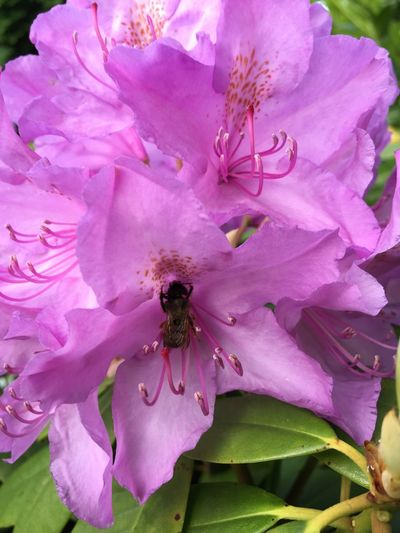 Flower Flowering Plant Fragility Beauty In Nature Plant Vulnerability  Petal Freshness Growth Close-up Pink Color Invertebrate Flower Head Animal Themes Animal Insect One Animal Nature Inflorescence Animals In The Wild Pollen No People Outdoors Springtime Purple