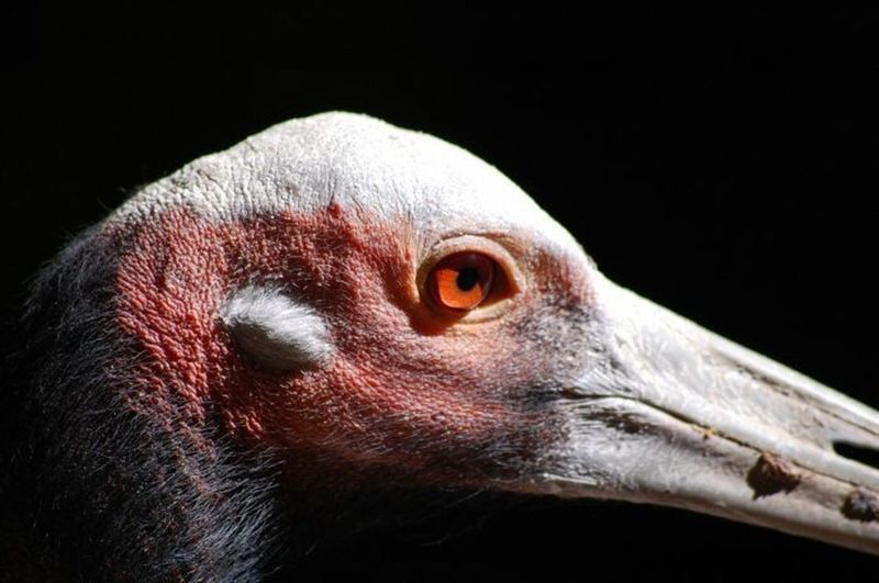 Animal Body Part Black Background Beak Close-up Eye Animal Eye Portrait Red Black Color Bird Looking At Camera Headshot One Animal No People Vulture