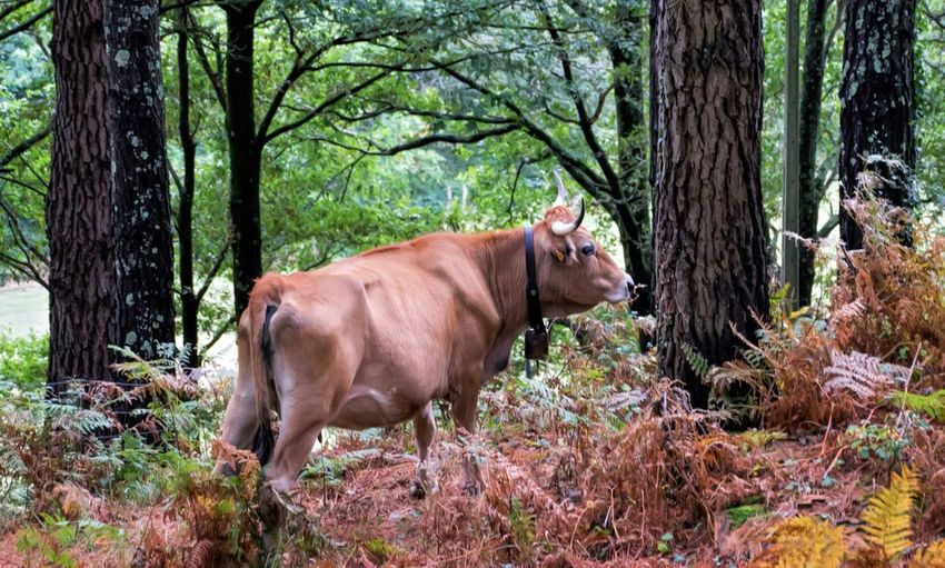 Cow grazing in the woods Nature Photography From My Point Of View Protecting Where We Play Animal Photography Autumn Colors Animelover Deceptively Simple Fall Beauty