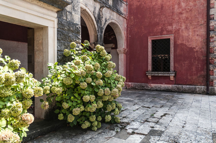 Hortensia Arch Architecture Cavtat, Croatia Day Fassade Flower Green Color Growing Growth Hortensia Nature No People Outdoors Plant Potted Plant Red