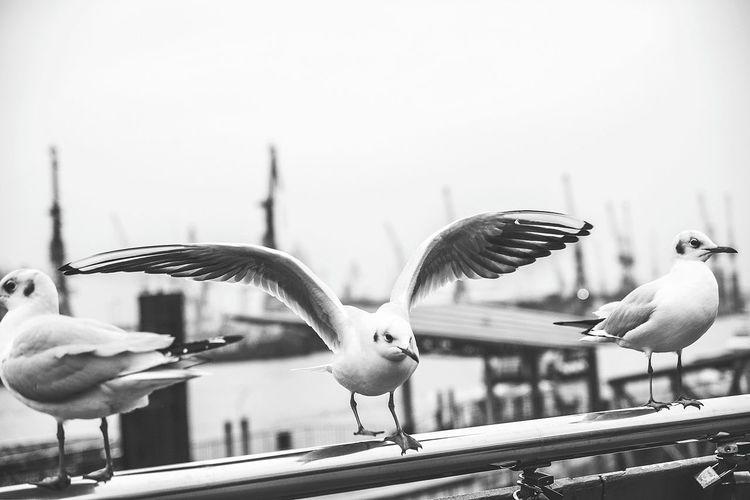 Möven Move Moeve Hamburg Hafen Havencity Minimalism B&w Schwarzweiß Wasser EyeEm Best Shots - Black + White Bird Flying Spread Wings City Close-up Sky Seagull Sea Bird Water Bird