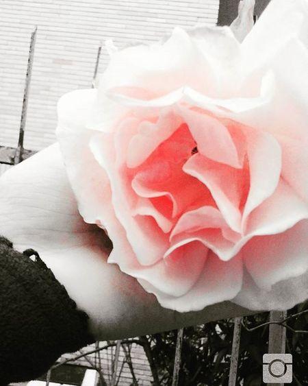 Era freddo...come l'inverno,la neve e il ghiaccio,ma nonostante ciò manteneva lo stesso fascino e la stessa bellezza🔝📷💲⚓✋ -Isabel- Photo Pinkrose Flower Sono Una Piccola Fotografa E Sara Una Passione Che Durerà Persempre Sempre