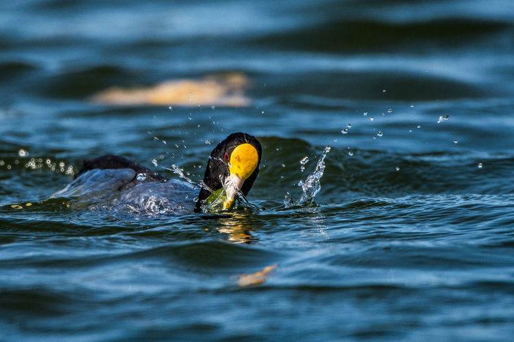 Close-up of coot swimming in lake