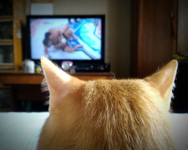 Tv Screen Wathing Tv Cat Watching TV Cat Cat Ears MMA Pet Portraits