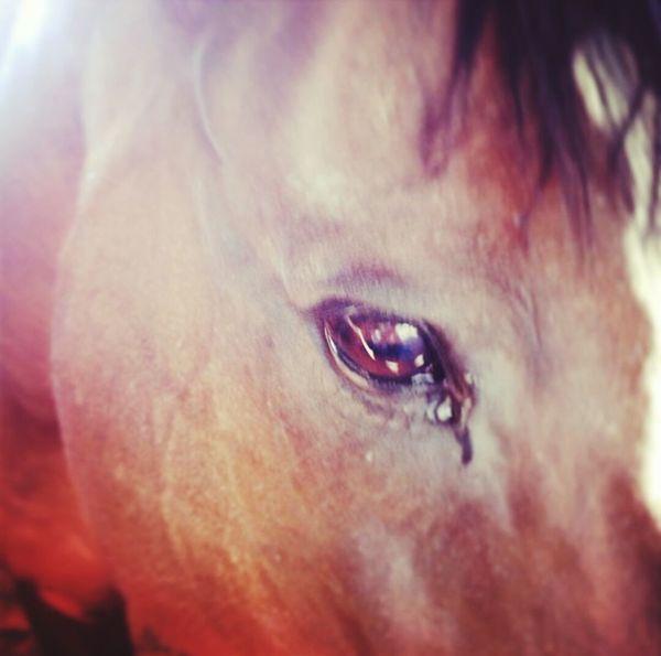Cavallo Marrone Lacrima Amore Stalla