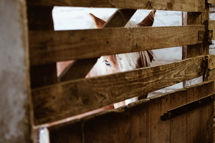 Close-up of horse in stable seen through wooden fence
