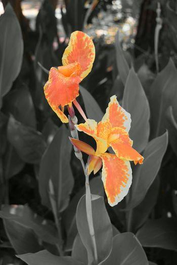 Orange Flower Yellow Flower Flowers Nature Photography Nature Ncnature North Carolina Blackandwhitephotography Blackandwhite