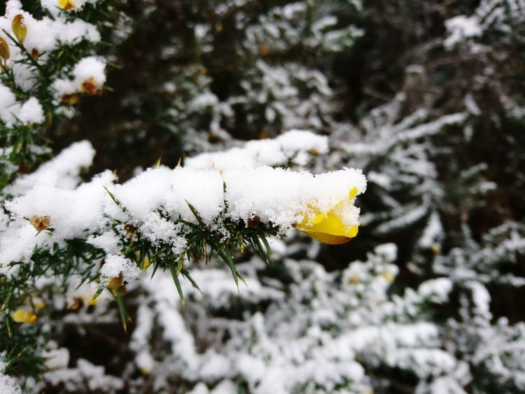 Snow Covered Gorse Gorse Bush Gorse Flowers Outdoors No People Beauty In Nature Snowflake Forest Flower Branch Close-up Snowing