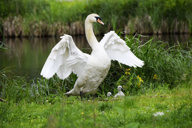 White swan with