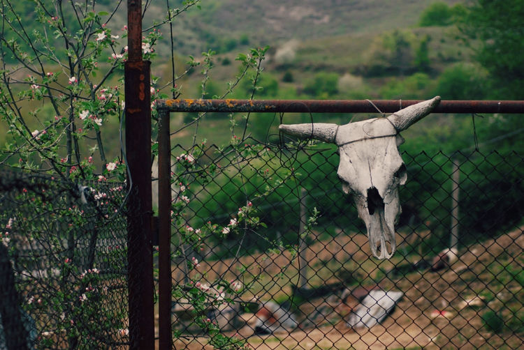 Skull of animal on fence