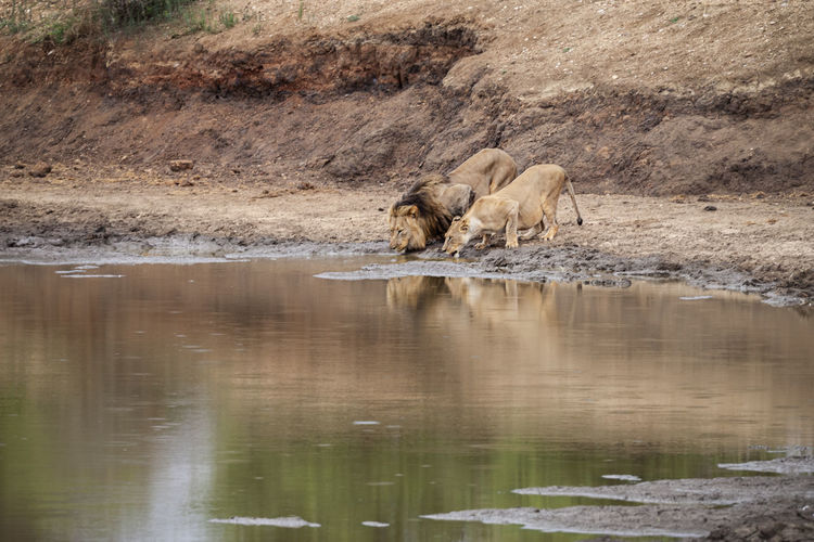 Couple, South Africa Animal Themes Animal Animal Wildlife Animals In The Wild Mammal Water Group Of Animals Vertebrate Two Animals Lake No People Reflection Day Nature Lion - Feline Feline Domestic Animals Cat Female Animal Drinking Lion Lioness Thirsty  South Africa Africa