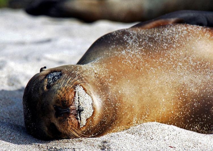 Close-up of galapagos sea lion relaxing at beach
