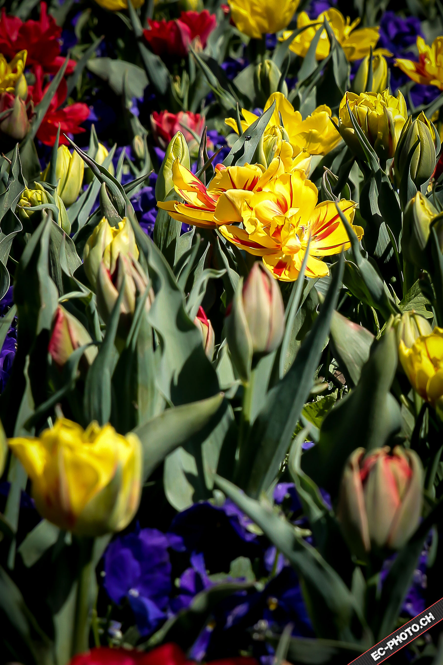 flower, freshness, petal, fragility, abundance, growth, beauty in nature, full frame, flower head, yellow, backgrounds, plant, nature, multi colored, blooming, close-up, tulip, leaf, variation, day