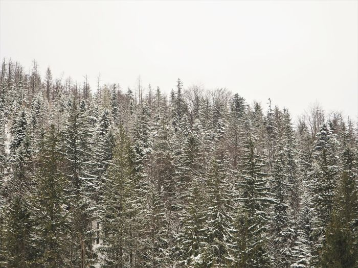 Beauty In Nature Tranquility Tree Nature Tranquil Scene Growth Scenics - Nature Cold Temperature Winter Forest Pine Woodland Pine Tree Snow Peaks Mountains North