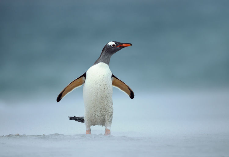 Penguin perching on snow during winter