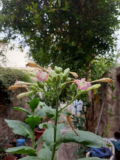 Tabaco flower