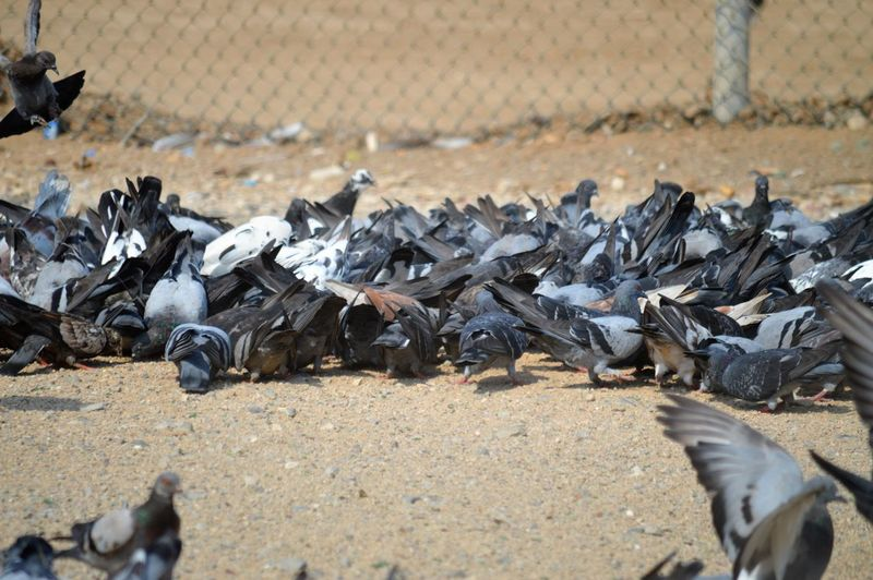 View of pigeons on metal fence