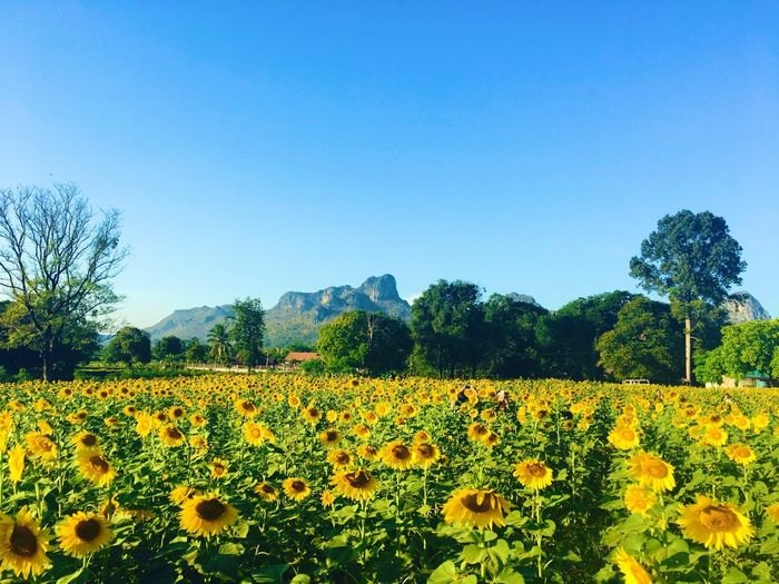 Sun Flower Field Flower Growth Nature Field Agriculture Plant