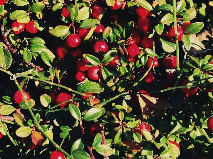 Red Cotoneaster Cotoneaster Berries Fruit Leaf Red Tree Close-up Plant Food And Drink Growing Plant Life