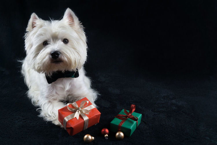 Portrait of dog sitting by gifts
