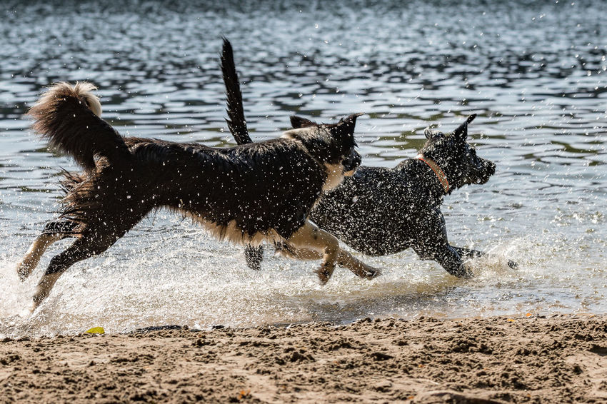 Animal Animal Themes Beach Beach For Dogs Beachlife Canine Day Dog Domestic Domestic Animals Land Mammal Motion Nature No People One Animal Pets Running Splashing Vertebrate Water Wet