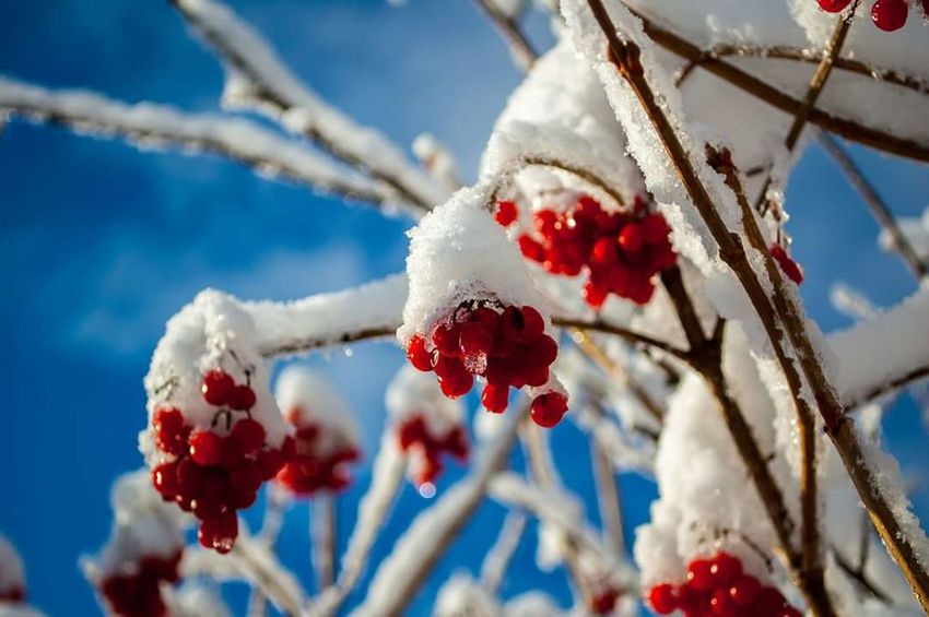 Tatras Mountains Snow Winter Red Fruit Nature Ice Tree Beauty In Nature