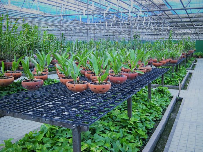 Orchids Abundance Agriculture Beauty In Nature Day Freshness Green Color Greenhouse Growth Nature No People Outdoors Plant Plant Nursery Potted Plant Vegetable