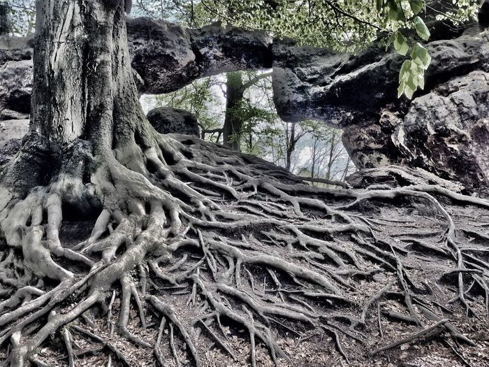 Roots Walking Around Taking Photos Sächsische Schweiz EyeEm Best Shots OpenEdit EyeEm Nature Lover IPhoneography Trees