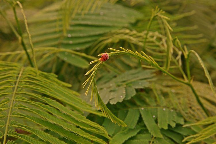 Climbing Wattle, Acacia or Cha-om, a medicinal plant and vegetable native to South Asia and Southeast Asia Climbing Wattle Cha-om Acacia Green Color Growth Plant Leaf Nature Outdoors Southeast Asi South Asia Medicinal Plant Vegetable Shrub Thailand